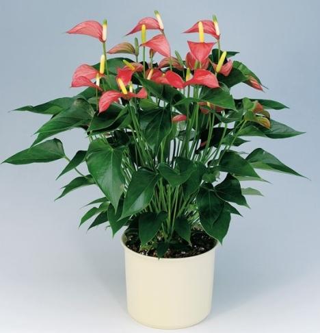 anthurium-plant
