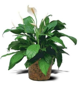 Blog-Peace Lily